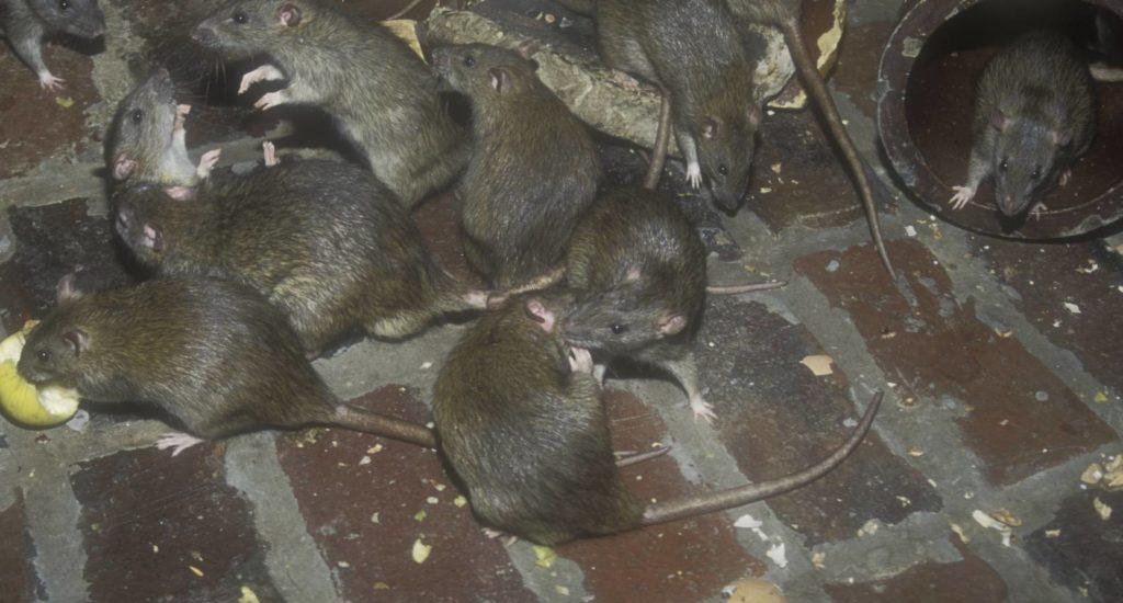 уничтожение крыс в Когалыме